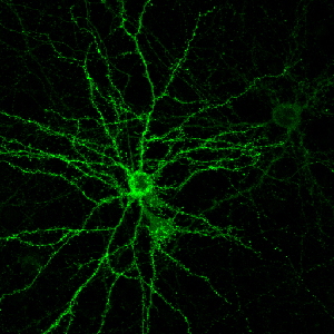 yale-neurons-gree